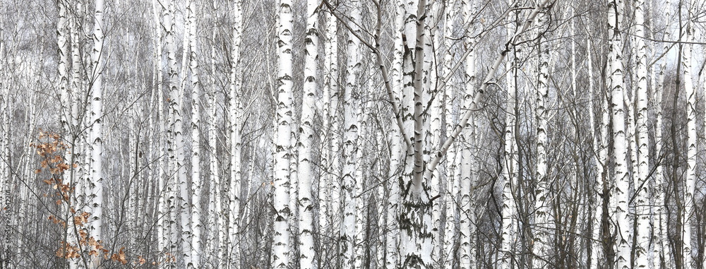 Brzozy z czarno-białą brzozą korową jako naturalne brzozy tło z brzozy tekstury <span>plik: #258542201 | autor: yarbeer</span>