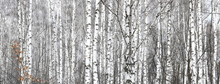 Birch Trees With Black And Whi...