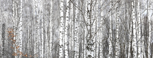 Stickers pour portes Bosquet de bouleaux Birch trees with black and white birch bark as natural birch background with birch texture