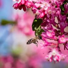 A Honey Bee In Flight Heading ...