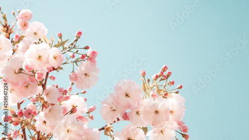 Branches of blossoming spring tree. Sakura flowers Wallpaper Mural