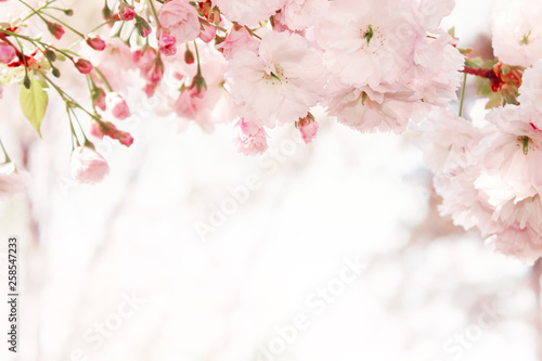 Branches of blossoming spring tree. Sakura flowers - 258547233