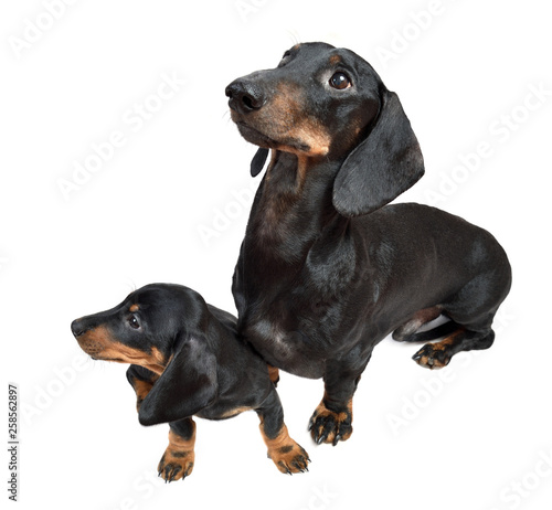 Keuken foto achterwand Crazy dog Smooth black and tan dachshund with its two-month puppy