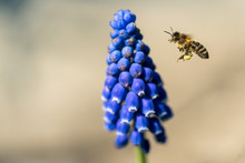 Pollen Collecting Bee And A Blue Grape Hyacinth