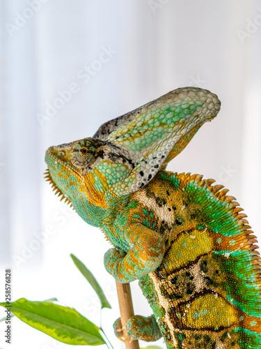 Cadres-photo bureau Cameleon Veiled chameleon hanging in ficus