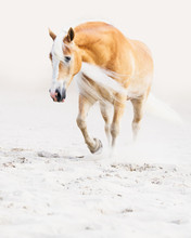 Haflinger Gelding Trotting In ...