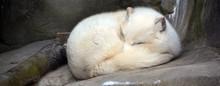 Arctic Fox (Vulpes Lagopus), A...