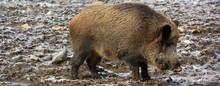 Common Wild Boar Pig. Wild Boa...