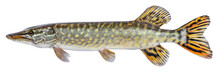 Raw Fish Pike Isolated. Freshw...