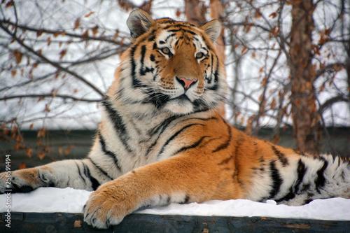 Amur Siberian tiger is a Panthera tigris tigris population in the Far East, part Fototapet