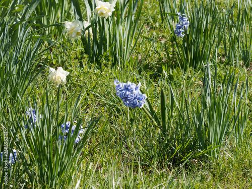 Photographie Hyacinthus - Inflorescence de Jacinthes