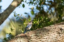 Blue Jay Bird Cyanocitta Crist...