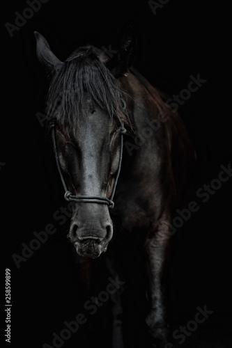 Fototapety, obrazy: Portrait of a beautiful black stallion on a black background