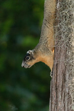 Eastern Fox Squirrel Sciurus Niger Clings Upside Down To A Pine Tree
