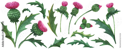 Photo Watercolor thistle flowers and leaves