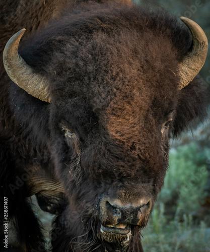 Fotografie, Obraz  Face of Bison
