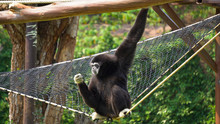 Spider Monkey Adult Lone Playing Play Hanging Swinging Tail