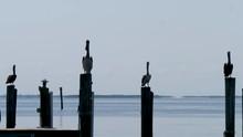 Pelicans In Marina On Captiva Island Florida