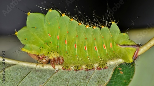 Photo  A young Polyphemus caterpillar (Antheraea polyphemus) on the back of an Oak leaf