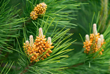 Pine Tree Flower Closeup