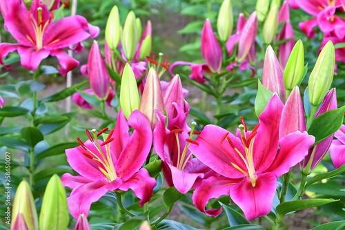 Poster Rose 美しい百合の花
