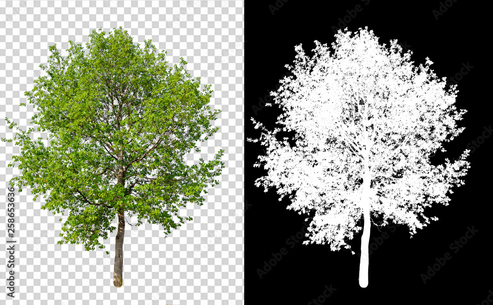 Fototapeta single tree on transparent picture background with clipping path, single tree with clipping path and alpha channel on black background