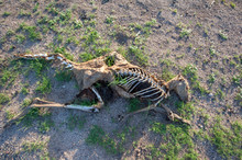 Dead Kangaroo Decaying Showing Its Bones - In Color