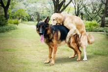 Retriever Dog Plays With Shepherd Dog At Park