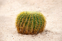 Golden Barrel Cactus Growing I...