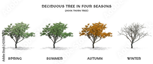 Deciduous Tree in four seasons - Hook Thorn - isolated on white a white backgrou Fototapet