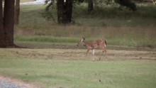 Spotted Fawn At Dirt Road