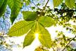 Kastanienblatt im Gegenlicht