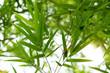 Natural, bright green bamboo.