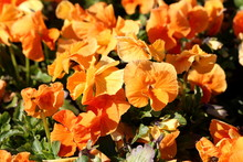 Orange Wild Pansy Or Viola Tri...