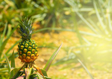 Pine Apple Growing In Field - ...