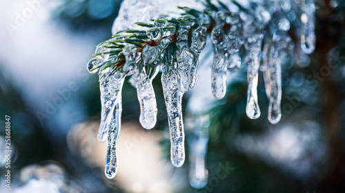Fotografía Icicles on fir tree branch