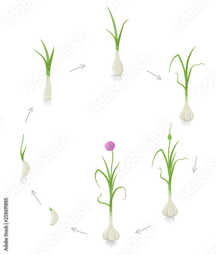 Round crop stages of Garlic  Growing Garlic plant  Harvest
