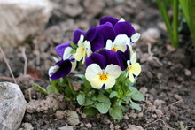 Wild Pansy Or Viola Tricolor O...