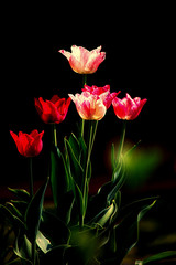 Panel Szklany Tulipany Tulpen im Kasten