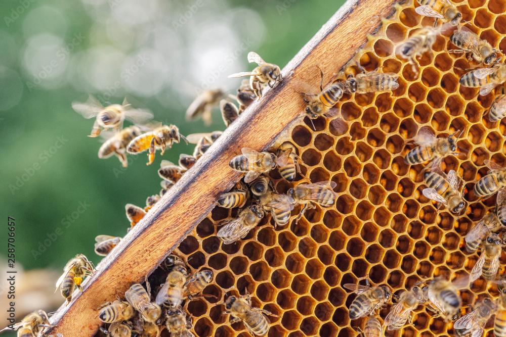 Fototapeta Hardworking bees on honeycomb in apiary