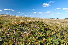 Cloudberry Berry In Natural Habitat In The Tundra On A Clear Sunny Day