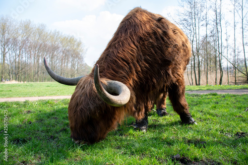 Vászonkép A grazing Scottish Highlander on green grass and a blurred background with one horn pointing towards the viewer