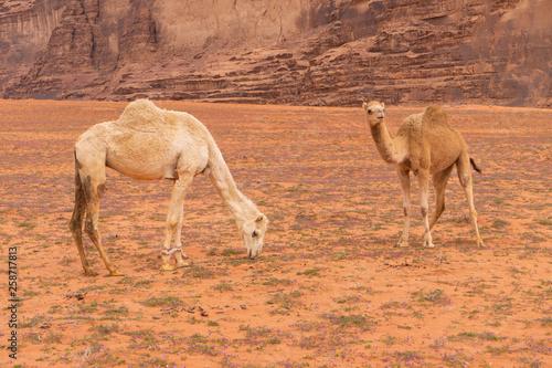 Poster Kangoeroe Camel in Wadi Rum, Jordanian desert landscape.