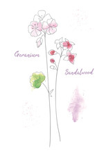 Wildflowers Sandal Hand Drawn Watercolor Illustration. Sandalwood Aquarelle Paint Drawing.