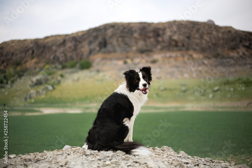 Fototapeta beautiful black and white dog border collie stay on a rock in field and look in camera