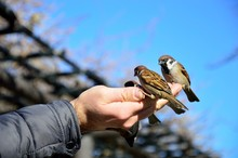 Sparrow Eating In The Hand