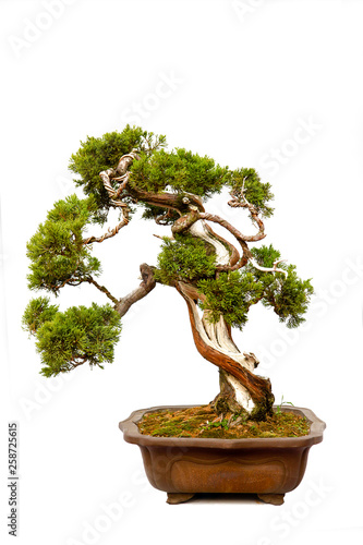 Spoed Fotobehang Bonsai Evergreen bonsai on white