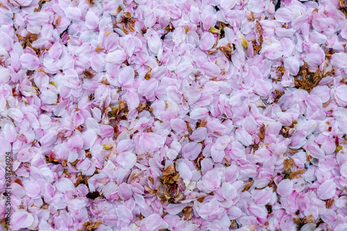 Printed kitchen splashbacks Purple Thick mat of pink blossom laying on the ground flat view close up