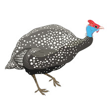 Drawing Of Outline Guinea Fowl...