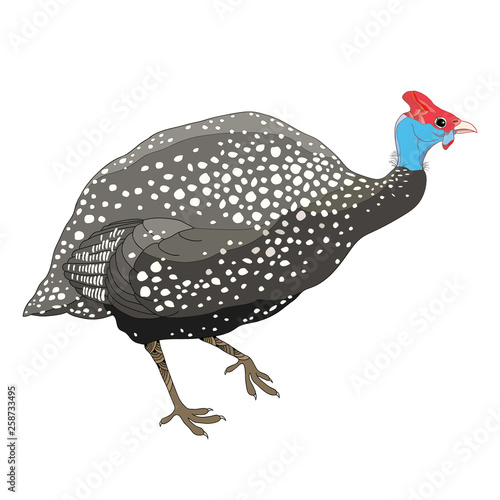 Tablou Canvas Drawing of outline Guinea fowl isolated on white background.